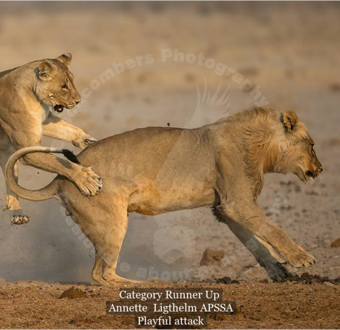 a003-1024235-playful attack.jpg_wildlife - colour_109_category runner up